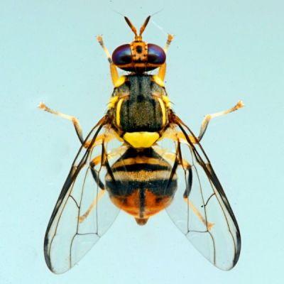 ruồi dưa gây hại cho dưa lưới
