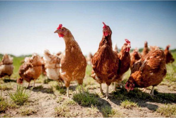 Phân gà trong chăn nuôi.