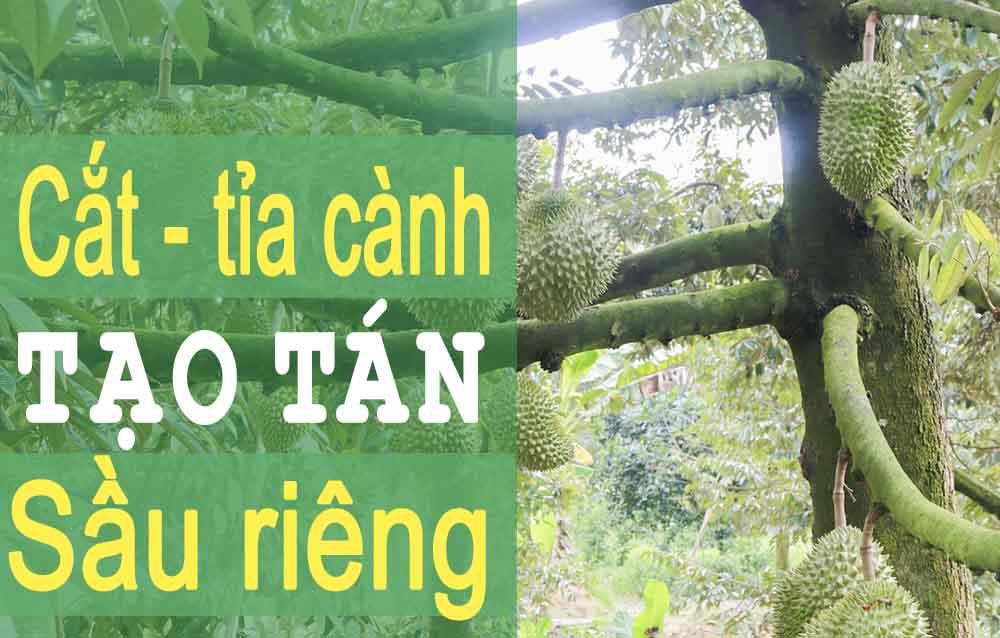 Tỉa cành cây sầu riêng