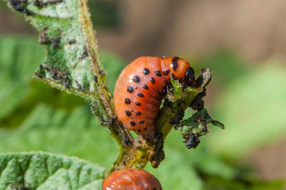 Côn trùng gây hại cho rau