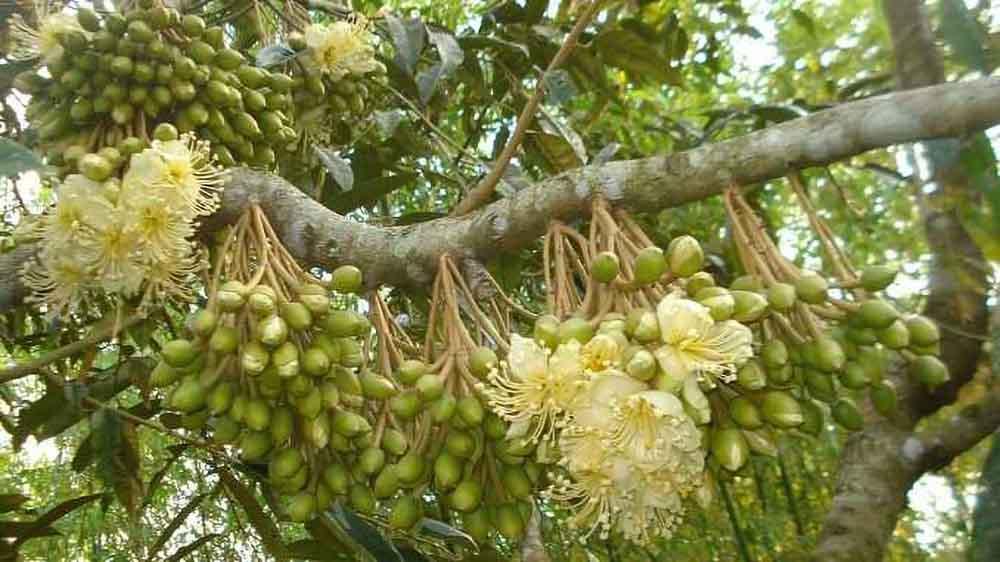 Hỗ trợ thụ phấn cho cây sầu riêng