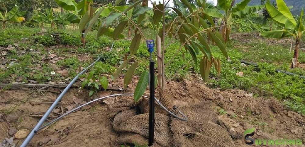 Kỹ thuật tưới nước cho cây sầu riêng