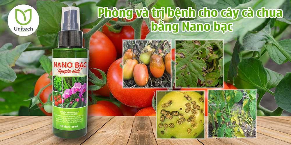 Phòng và trị bệnh cho cây cà chua