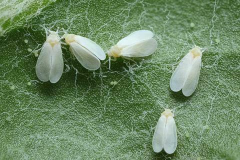ruồi trắng gây hại trên dưa lưới