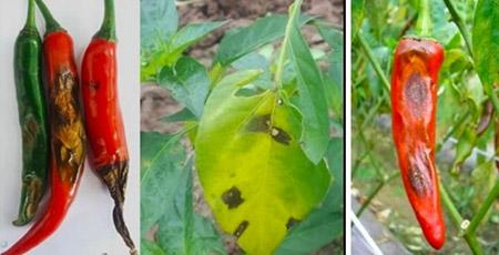 Bệnh thán thư ở cây ớt