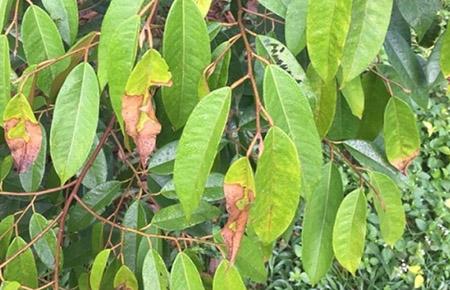 Bệnh thán thư ở cây sầu riêng