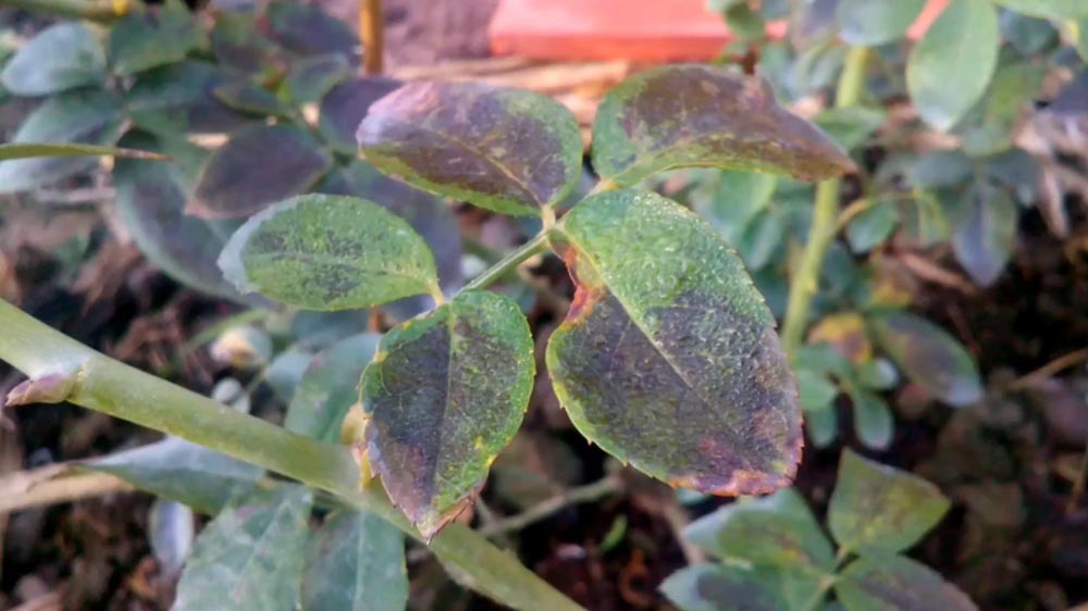Bệnh sương mai trên hoa hồng - techtra