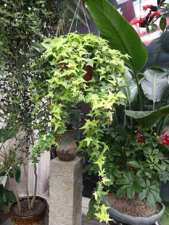 Trồng mănTrồng cây thường xuân giúp thanh lọc không khí