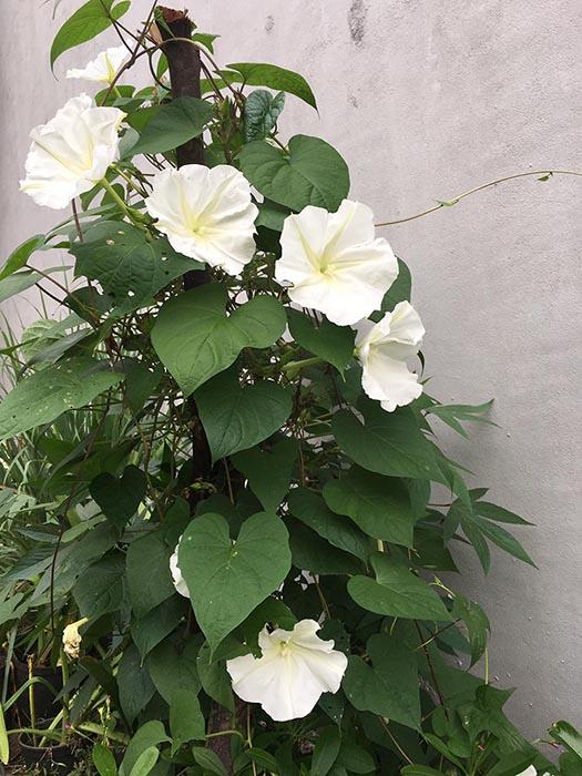 Hoa chomchan Thái Lan