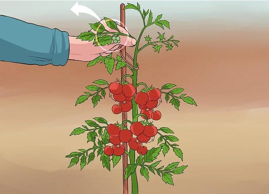 Tỉa cành cho cây cà chua