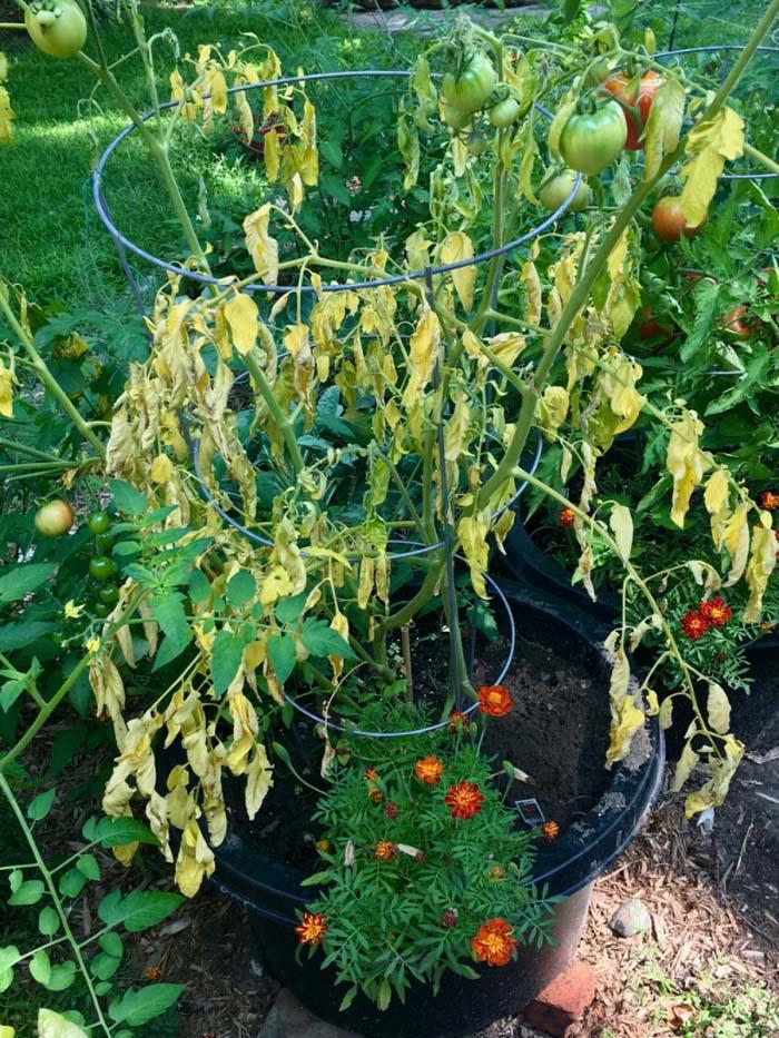 Bệnh héo rủ, chết xanh trên cây cà chua