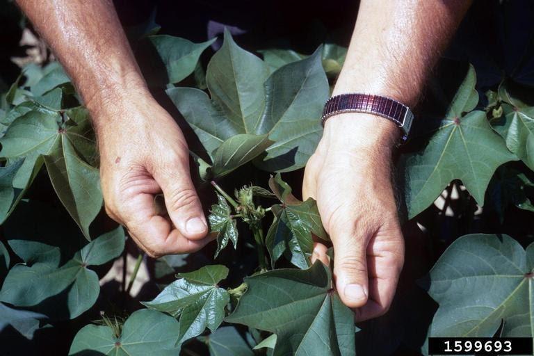 diệt sâu ăn lá không dùng thuốc trừ sâu