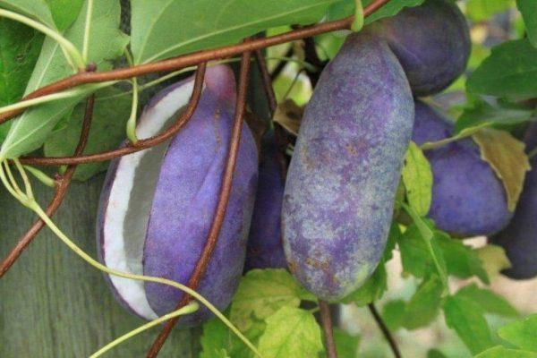 quả nho akebi khi chín có màu tím
