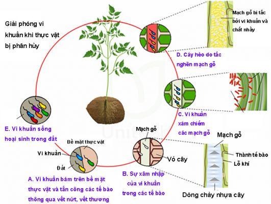 Vòng đời của vi khuẩn gây bệnh héo xanh trên cây cà chua