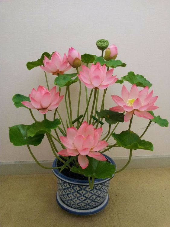 Sen nhật mini trong phong thủy và cách trồng sen nhật mini. Sen nhật mini màu hồng trồng trong chậu sứ.