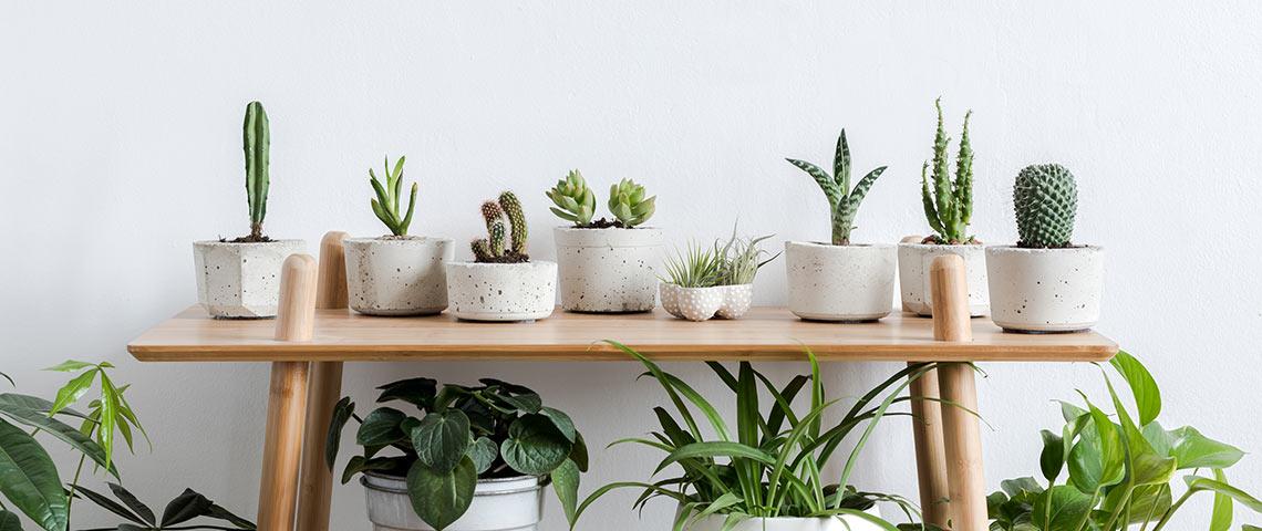 trồng cây trong nhà - xương rồng