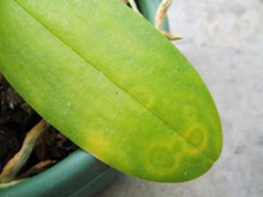 Bệnh thối nhũn trên hoa lan và các triệu chứng