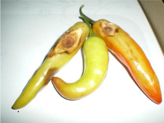 Bệnh trên cây ớt ảnh hưởng đến quả